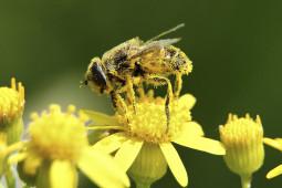 Macro Bee Pollen